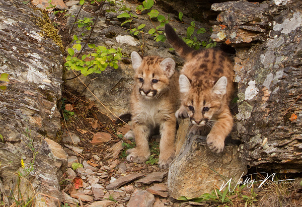 Cougar cubs_MG_6601 - Miscellaneous Wildlife - Walter Nussbaumer Photography