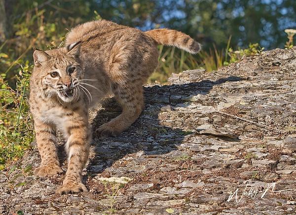 Bobcat_MG_6071 - Miscellaneous Wildlife - Walter Nussbaumer Photography