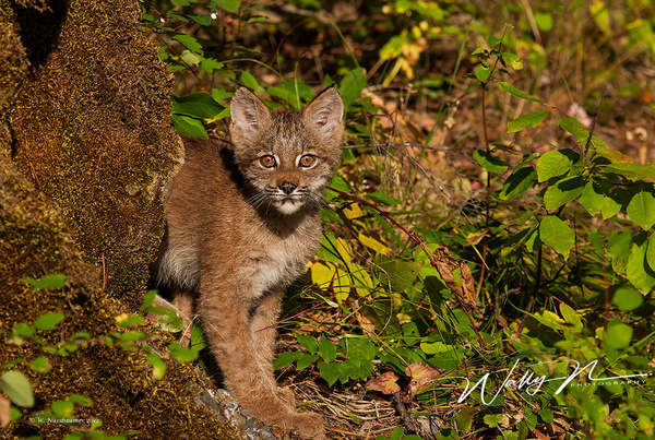 Bobcat_F3O1482 - Miscellaneous Wildlife - Walter Nussbaumer Photography