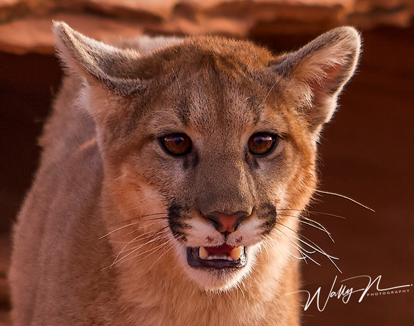 Cougar_MG_0453 - Miscellaneous Wildlife - Walter Nussbaumer Photography