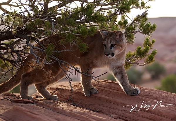 Cougar_F3O7847 - Miscellaneous Wildlife - Walter Nussbaumer Photography