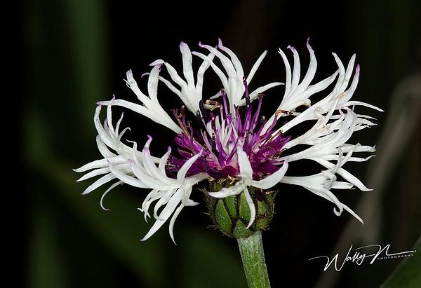 Batchlor Button_073A3856 - Wildflowers - Walter Nussbaumer Photography