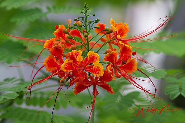 Dwarf poinciana_MG_7353 - Wildflowers - Walter Nussbaumer Photography