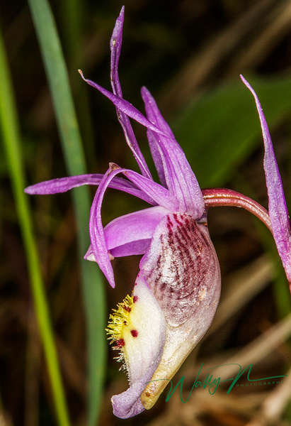Calypso Orchid_73A0081 - Wildflowers - Walter Nussbaumer Photography