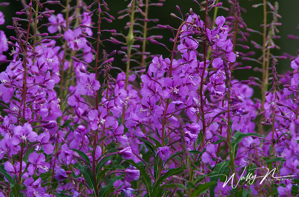 Fireweed_F3O1208 - Wildflowers - Walter Nussbaumer Photography
