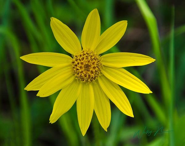 Heartleaf arnica_DSC0015 - Wildflowers - Walter Nussbaumer Photography