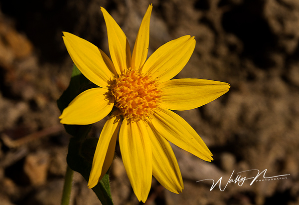 Jerusalem Artichoke_IMG_4213 - Wildflowers - Walter Nussbaumer Photography