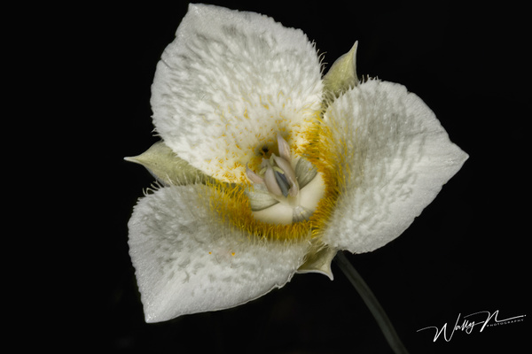 Mariposa 2 - Wildflowers - Walter Nussbaumer Photography