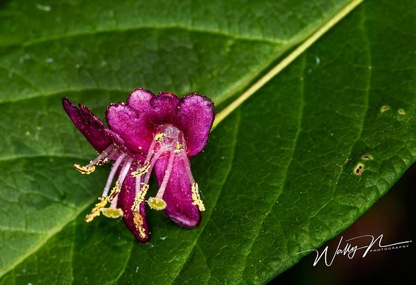 Limber Honeysuckle_73A8670 - Wildflowers - Walter Nussbaumer Photography