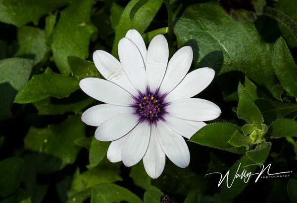 Osteosternum_073A3879 - Wildflowers - Walter Nussbaumer Photography