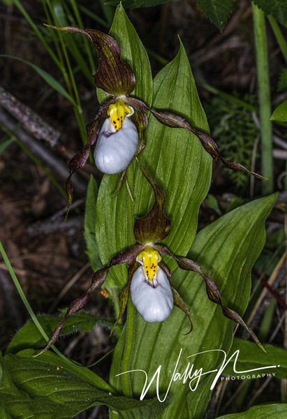 Mountain Lady Slipper Orchid_IMG_8401 - Wildflowers - Walter Nussbaumer Photography