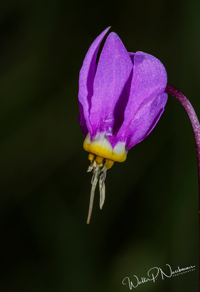 Shooting Star_73A0130 - Wildflowers - Walter Nussbaumer Photography