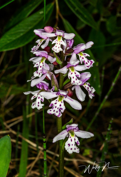 Round Leaf Orchid_73A8692 - Wildflowers - Walter Nussbaumer Photography