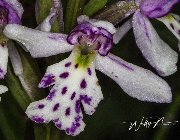 Spotted Round Leaved Orchid CU_73A8694 - Wildflowers - Walter Nussbaumer Photography