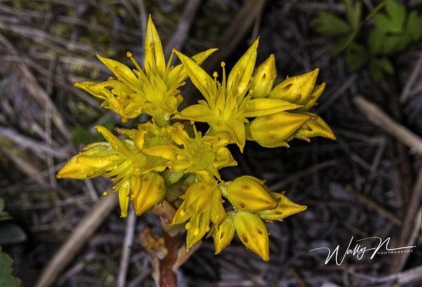Subalpine Stonecrop_IMG_8446 - Wildflowers - Walter Nussbaumer Photography