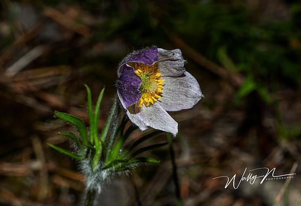 Crocus_73A0126 - Wildflowers - Walter Nussbaumer Photography