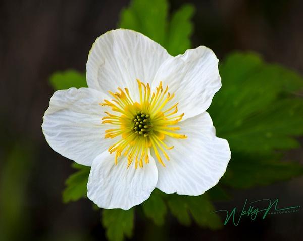 Canada anemone_DSC0175 - Wildflowers - Walter Nussbaumer Photography