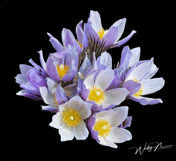Crocus -2F3O9685 - Wildflowers - Walter Nussbaumer Photography