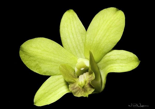 Dendrobium Orchid_08 - Wildflowers - Walter Nussbaumer Photography