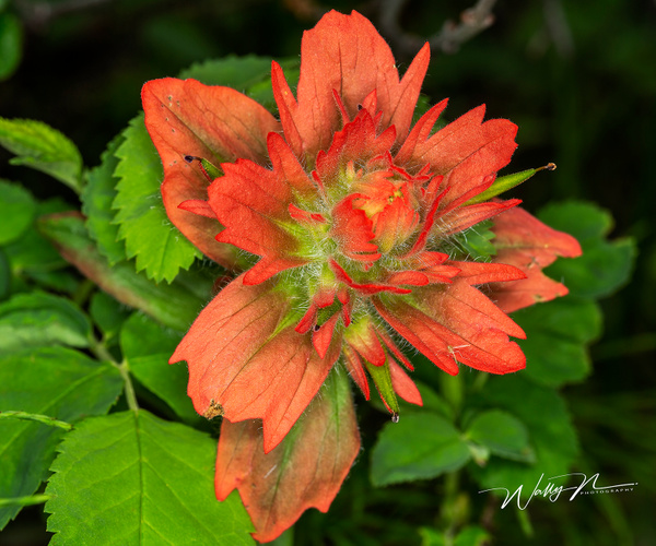 Indian Paintbrush_73A8686 - Wildflowers - Walter Nussbaumer Photography