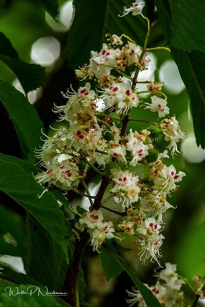 Horse chestnut ( Buckeye)_073A3667 - Wildflowers - Walter Nussbaumer Photography