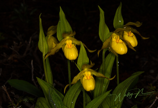 Lady Slipper Orcchid_73A0115 - Wildflowers - Walter Nussbaumer Photography