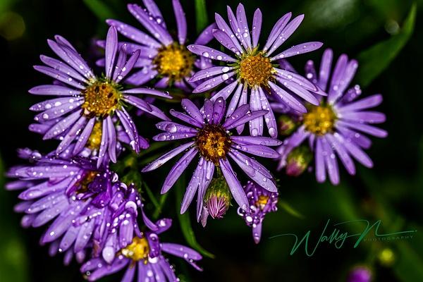 European michaelmas daisy_MG_5050 - Wildflowers - Walter Nussbaumer Photography