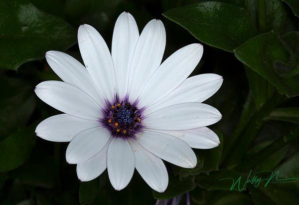 Osteosternum_073A3860 - Wildflowers - Walter Nussbaumer Photography