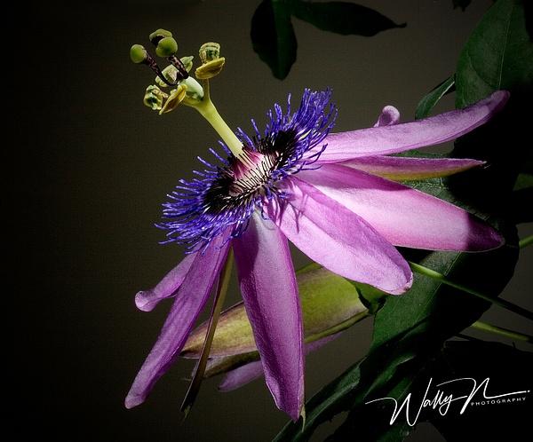 Passion Flower 13-4-05 - Wildflowers - Walter Nussbaumer Photography