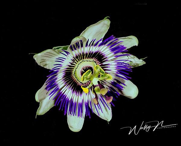 PassionFlower Caerula24 - Wildflowers - Walter Nussbaumer Photography