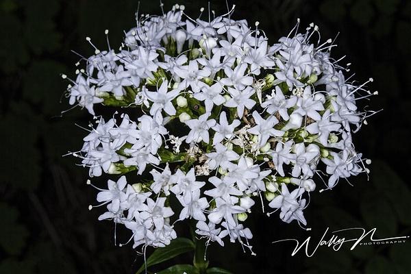 Valerian_IMG_8415 - Wildflowers - Walter Nussbaumer Photography