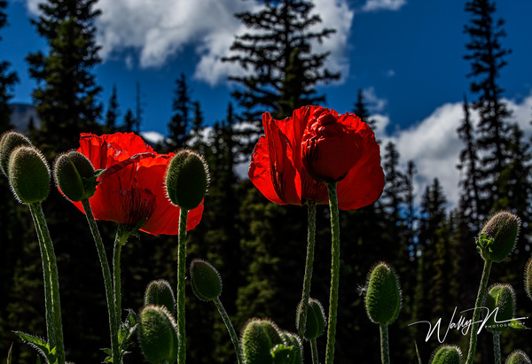 Poppy LL_F3O1222 - Wildflowers - Walter Nussbaumer Photography