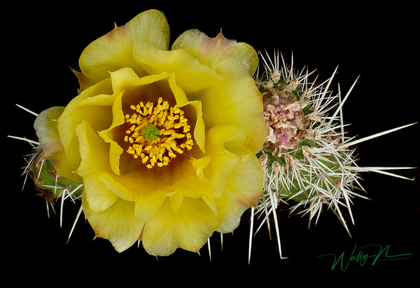 Prickly Pear Cactus_MG_0092 - Wildflowers - Walter Nussbaumer Photography
