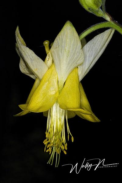 Wild Yellow Columbine_IMG_8392 - Wildflowers - Walter Nussbaumer Photography