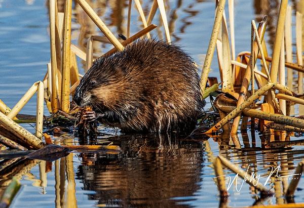 Muskrat_R8A8152 - Miscellaneous Wildlife - Walter Nussbaumer Photography