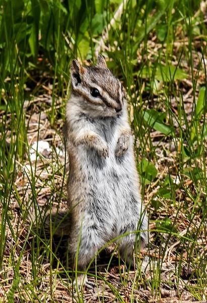Least Chipmunk Tamias minimus DSC_1323 - Miscellaneous Wildlife - Walter Nussbaumer Photography