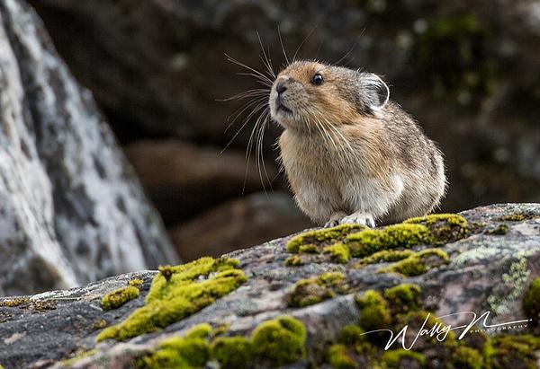 Pika_73A9029 - Miscellaneous Wildlife - Walter Nussbaumer Photography