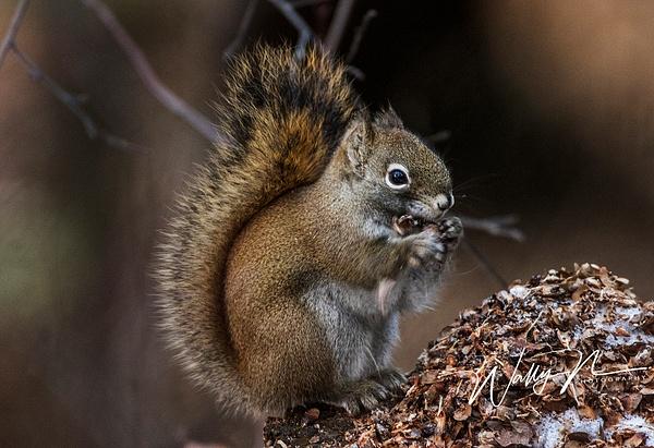 Pine Squirrel_0R8A0082 - Miscellaneous Wildlife - Walter Nussbaumer Photography
