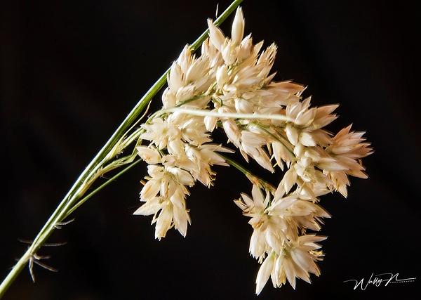 Alpine Grass_DSC1634 - Wildflowers - Walter Nussbaumer Photography