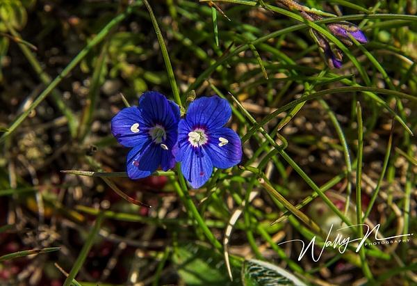 Felsen Ehrenpreis ( Veronica fruticans)_DSC1890 - Wildflowers - Walter Nussbaumer Photography