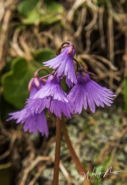 Echtes Alpenglöckchen_DSC2074 - Wildflowers - Walter Nussbaumer Photography