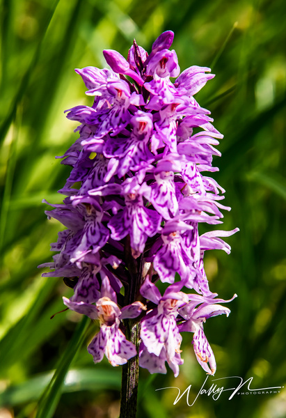 Common Spotted Orchid_DSC2217 - Wildflowers - Walter Nussbaumer Photography