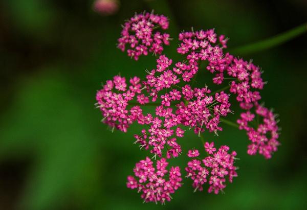 Japanese meadowsweet_DSC2287 - Wildflowers - Walter Nussbaumer Photography