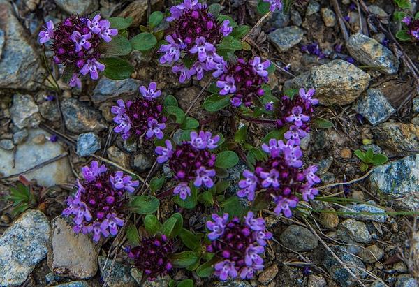 Wild Alpine Thyme_DSC1865 - Wildflowers - Walter Nussbaumer Photography