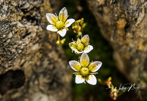 Saxifrage_DSC1995 - Wildflowers - Walter Nussbaumer Photography