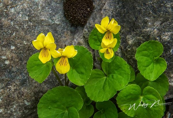 Zweiblütige Veilchen ( Viola biflora _DSC1466 - Wildflowers - Walter Nussbaumer Photography