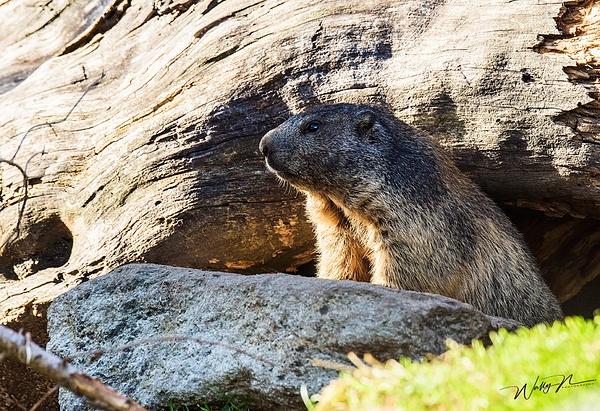 Alpine Marmot_(Switzerland) - Miscellaneous Wildlife - Walter Nussbaumer Photography