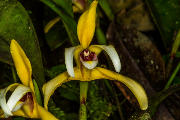 Coelogyne Orchid_73A9591 - Wildflowers - Walter Nussbaumer Photography