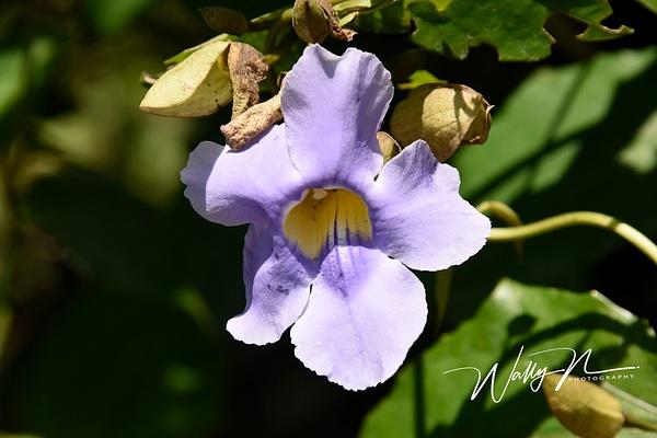 Bengal trumpet_DSC2540 - Wildflowers - Walter Nussbaumer Photography