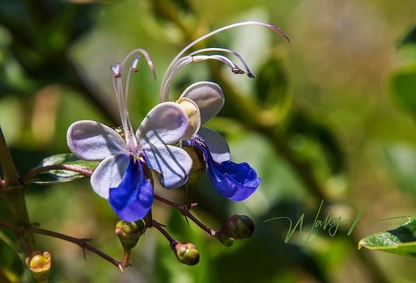 Blue fountain bush_DSC2503 - Wildflowers - Walter Nussbaumer Photography